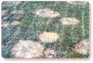 Brown Patch - preventable with fungicide application