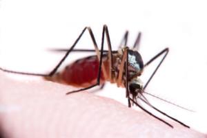 An Aedes triseriatus sucks blood from a human.